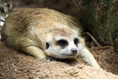 Meerkat looking something Stock Images