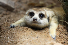 Meerkat looking something Stock Image