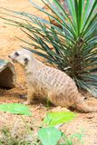 A Meerkat looking for something to eat Royalty Free Stock Images