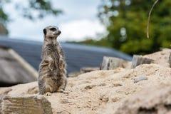 Meerkat looking somewhere. Cute meerkat on the sand looking somewhere Royalty Free Stock Photos