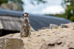 Meerkat looking somewhere. Cute meerkat on the sand looking somewhere Stock Photos
