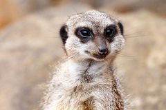 Meerkat looking straight at you Stock Photography