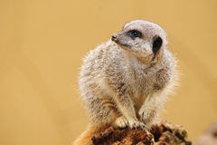 Meerkat looking to side Royalty Free Stock Photography