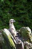 Meerkat looking on trunk Stock Photo