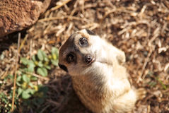 Meerkat looking up. Stock Image