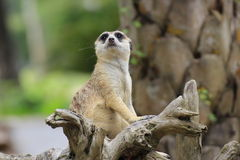 Meerkat looking up Stock Photo