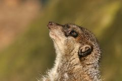 Meerkat looking up Stock Images