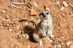 Meerkat looking up at the camera Stock Image