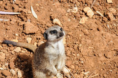 Meerkat looking up at the camera Royalty Free Stock Photo