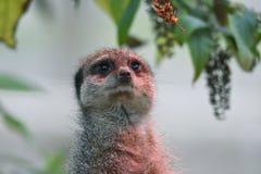Meerkat looking up stock photos