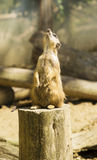 Meerkat looking up Royalty Free Stock Photos