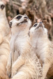 Meerkat looking upward Stock Images