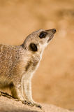 Meerkat looking upwards Royalty Free Stock Photography
