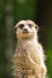 Meerkat looking at you in the sun Royalty Free Stock Image