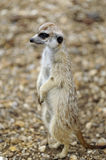 Meerkat lookout Royalty Free Stock Photos