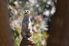 Meerkat Lookout Royalty Free Stock Photo