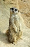 Meerkat Lookout Stock Photography