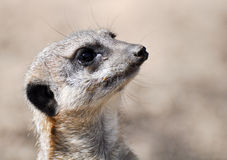 Meerkat on the lookout Royalty Free Stock Photos