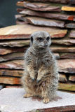 Meerkat on the lookout Stock Photos