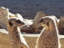 Meerkat lookout. Meerkats royalty free stock image