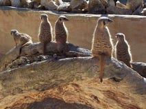 Meerkat lookout. Meerkats royalty free stock photo