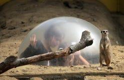 Meerkat lookout Stock Images
