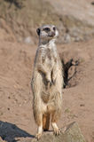 Meerkat. At the lookout for danger Stock Image
