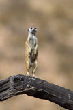 Meerkat on lookout duty Royalty Free Stock Image