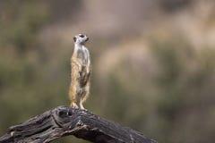 Meerkat on lookout duty Stock Image