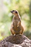 Meerkat. A meerkat is on lookout by his burrow Stock Images