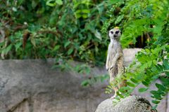 A meerkat on the lookout. royalty free stock photo