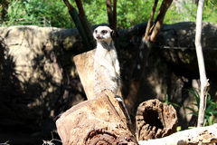 Meerkat on the Lookout Stock Image
