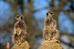 Meerkat Lookout Royalty Free Stock Images