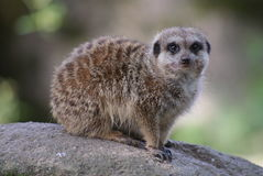Meerkat on the lookout Royalty Free Stock Image