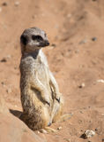 Meerkat on lookout Stock Images