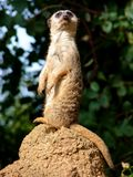 Meerkat On Lookout Standing Up Royalty Free Stock Photos