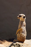 Meerkat on lookout. Meerkat (suricate) portrait in profile against natural dark background Royalty Free Stock Photography