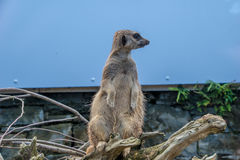 Meerkat on lookout Royalty Free Stock Image