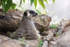 Meerkat lookout. Watchful meerkat keeps a lookout. This small creature lives in packs and is indigenous to Southern Africa Stock Photography