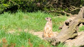 Meerkat looks around the prairie, protects his herd. Royalty Free Stock Photography