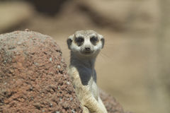 Meerkat looks at camera. Royalty Free Stock Photography