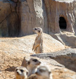 Meerkat looks into the distance against the backdrop Stock Photos