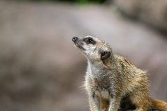 Meerkat looks up interested and expects food. Meerkats are regular guests in a zoo stock image