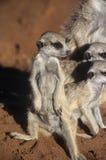 Meerkat lub suricate obraz royalty free