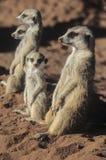 Meerkat lub suricate zdjęcia stock