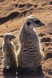 Meerkat lub suricate zdjęcie stock