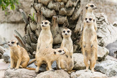 Meerkat lub Suricate kierdel (Suricata suricatta) obraz royalty free