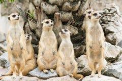 Meerkat lub Suricate kierdel (Suricata suricatta) zdjęcia stock