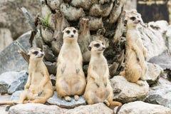 Meerkat lub Suricate kierdel (Suricata suricatta) zdjęcie stock