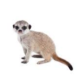 Meerkat lub suricate lisiątko, 2 miesiąca starego, na bielu Fotografia Royalty Free